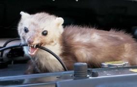 Kuny a hlodavce v aute – rady ako sa ich zbaviť